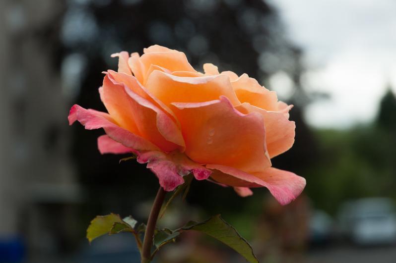 More Beautiful Roses